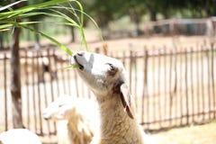 Schafe essen etwas Gras Lizenzfreies Stockbild