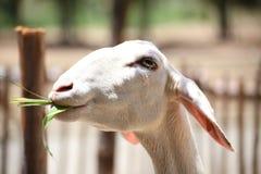Schafe essen etwas Gras Stockfoto