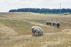 Schafe essen Gras Stockbild