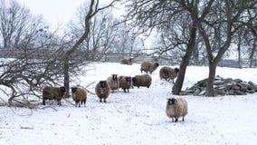 Schafe am Feld im Winter Lizenzfreies Stockbild