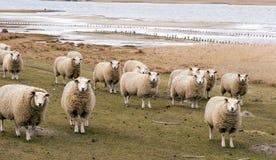 Schafe ganz vorbei Lizenzfreie Stockfotos