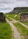 Schafe, Gatter und Kalkstein Stockbild