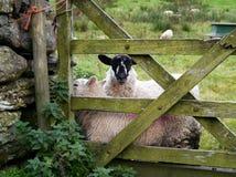 Schafe gegen Tor Stockfotos