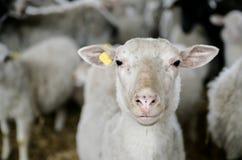 Schafe am Gehöft Lizenzfreie Stockfotografie