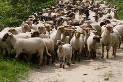 Schafe gehört Lizenzfreie Stockbilder