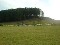 Schafe genießen Lizenzfreie Stockfotografie