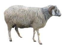 Schafe getrennt über Weiß Lizenzfreies Stockfoto