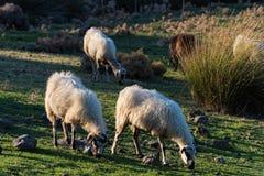 Schafe in Griechenland Stockbild