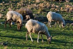 Schafe in Griechenland Stockfoto