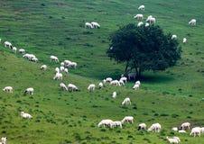 Schafe gruppieren in der Wiese Lizenzfreies Stockbild