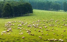 Schafe gruppieren in der Wiese Lizenzfreie Stockfotos