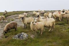 Schafe hörten Lizenzfreies Stockbild