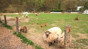Schafe, Henne und Gans im Kinderstreichelzoo Stockbild