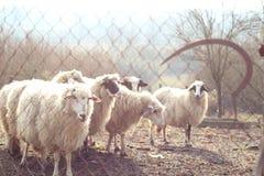 Schafe hinter Zaun mit alter Sichel Stockbilder
