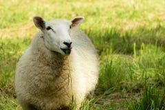 Schafe im Abteipark, Lacock Stockbilder