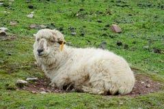 Schafe im Ackerland Lizenzfreie Stockfotografie