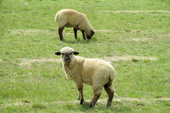Schafe im Ackerland Stockbild