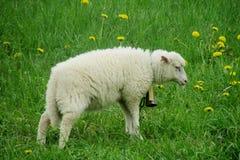 Schafe im Ackerland Stockfoto