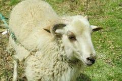 Schafe im Ackerland Lizenzfreie Stockfotos