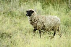 Schafe im Ackerland Lizenzfreies Stockbild