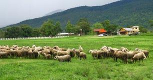 Schafe im Ackerland, Thailand Lizenzfreies Stockbild