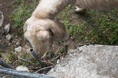 Schafe im Bauernhof Stockbilder