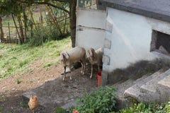 Schafe im Bauernhof Lizenzfreie Stockbilder