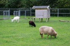 Schafe im Bauernhof Lizenzfreies Stockfoto