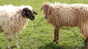 Schafe im Bauernhof stock video