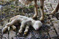 Schafe im Bauernhof, Mae Hong Son Thailand Stockbilder