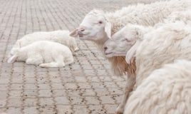 Schafe im Bauernhof warten auf das Lebensmittel Lizenzfreies Stockfoto
