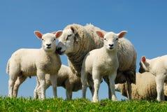 Schafe im Frühjahr Stockbilder