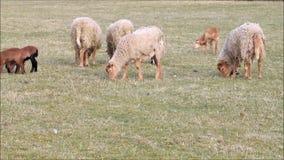 Schafe im Frühjahr, Lämmer, Familie stock footage