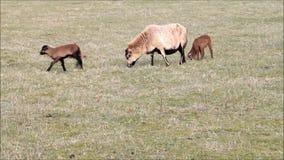 Schafe im Frühjahr, Lämmer, Familie stock video footage