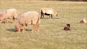 Schafe im Frühjahr, Lämmer, Familie stock video
