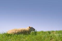Schafe im Gras lizenzfreie stockfotos