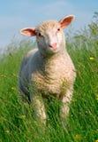 Schafe im Gras Stockfotos