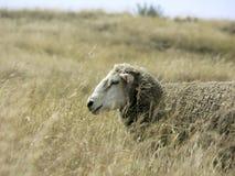 Schafe im hohen Gras Stockfotos