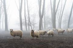 Schafe im Nebel Stockbild