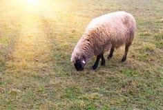 Schafe im Nebel früh morgens auf einer Weide lizenzfreie stockbilder