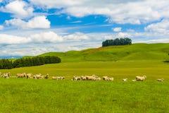 Schafe im Neuseeland Stockfotos