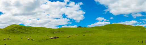 Schafe im Neuseeland Stockbild