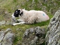 Schafe im Ruhezustand auf Hügel Lizenzfreie Stockfotografie