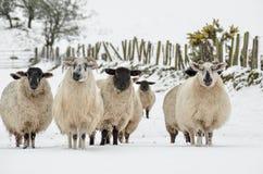 Schafe im Schnee Lizenzfreie Stockfotos