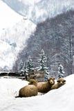 Schafe im Schnee stockfotos