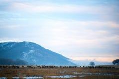 Schafe im Schnee bedeckt Stockfoto