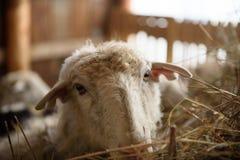 Schafe im Stall Stockfotografie