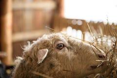 Schafe im Stall Stockbild