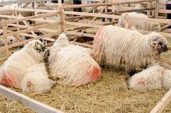 Schafe im Stift Stockbilder