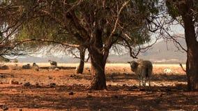 Schafe im trockenen Landschaftsbauernhof während des mittleren Schusses der Dürre unter Bäumen stock video footage